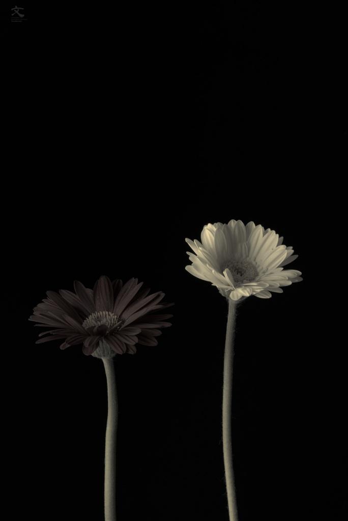 BLUE NOTE な花 ガーベラ