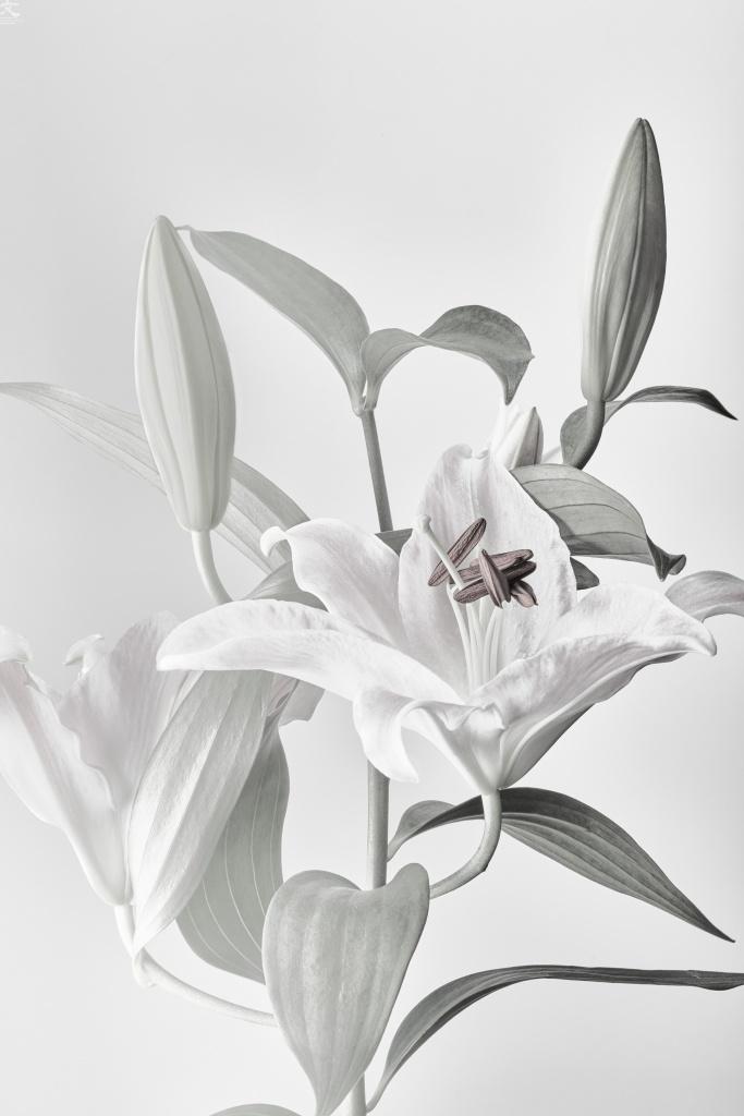 化石の花 ユリ カトウフミヒロ