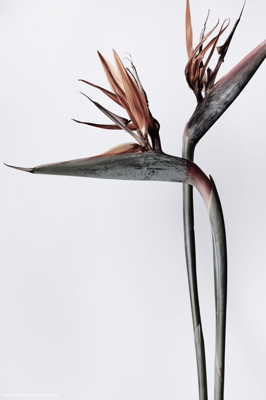 極楽鳥花. Strelitzia.