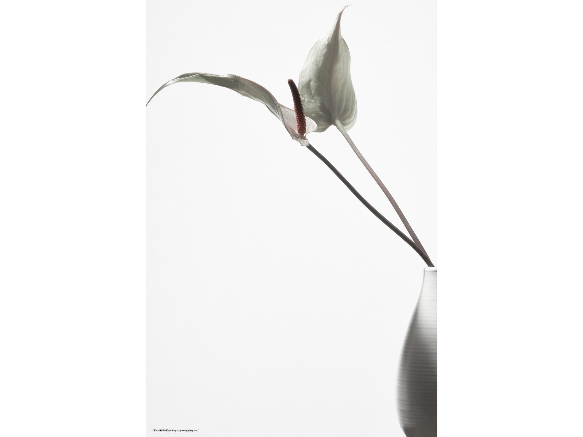 ハナ 2020-006 Anthurium #6