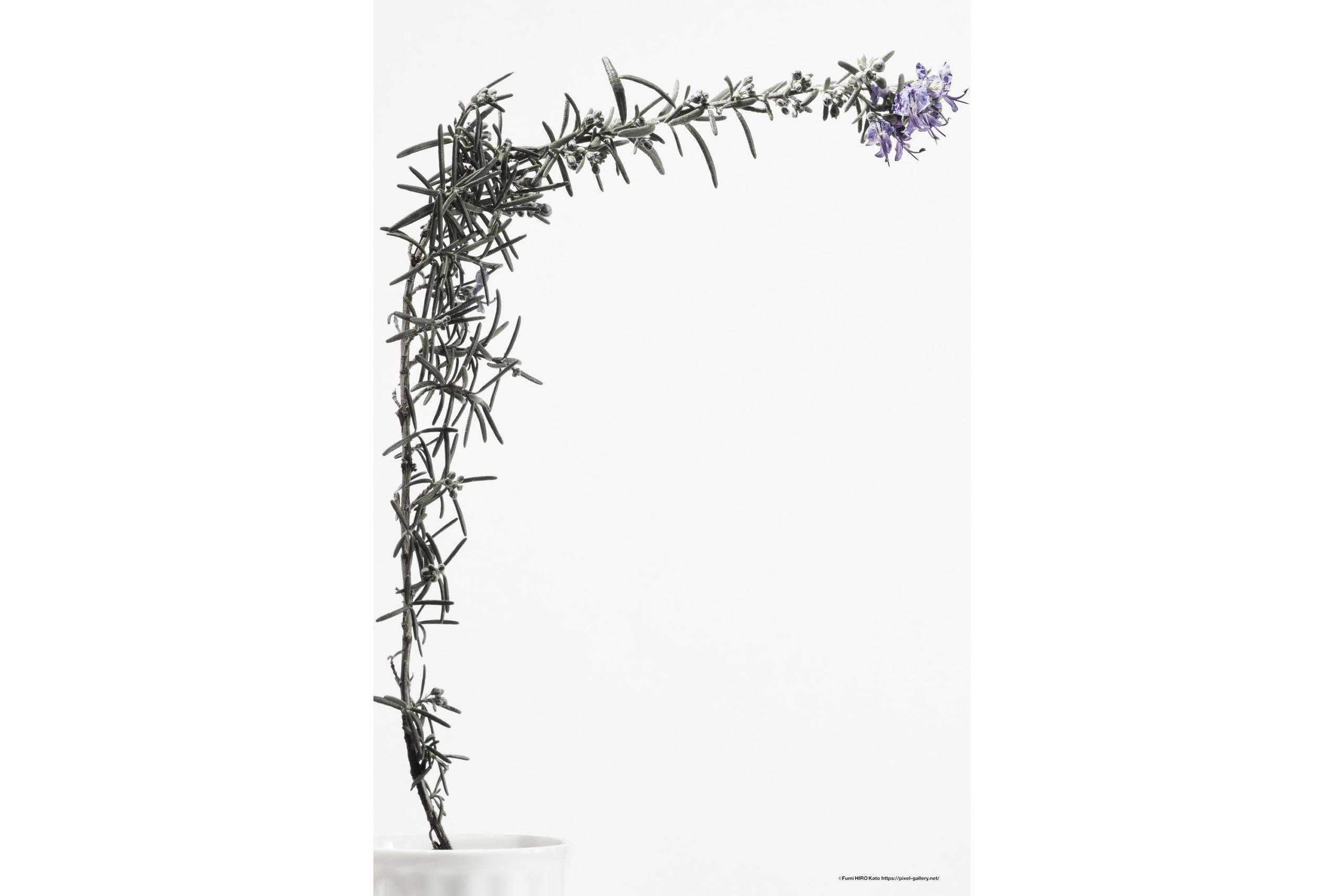 ハナ 2020-008 Rosemary #1