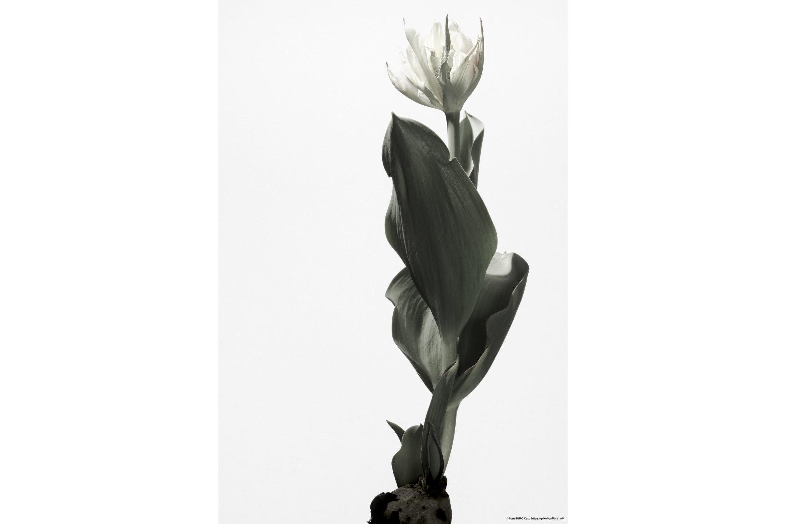 ハナ 2020-010 Tulip #1