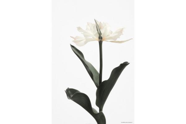 ハナ 2020-011 Tulip #2