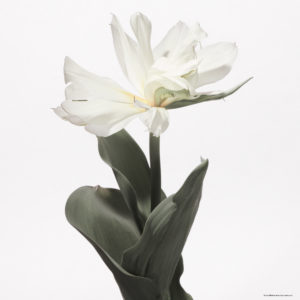 020-012 Tulip #3