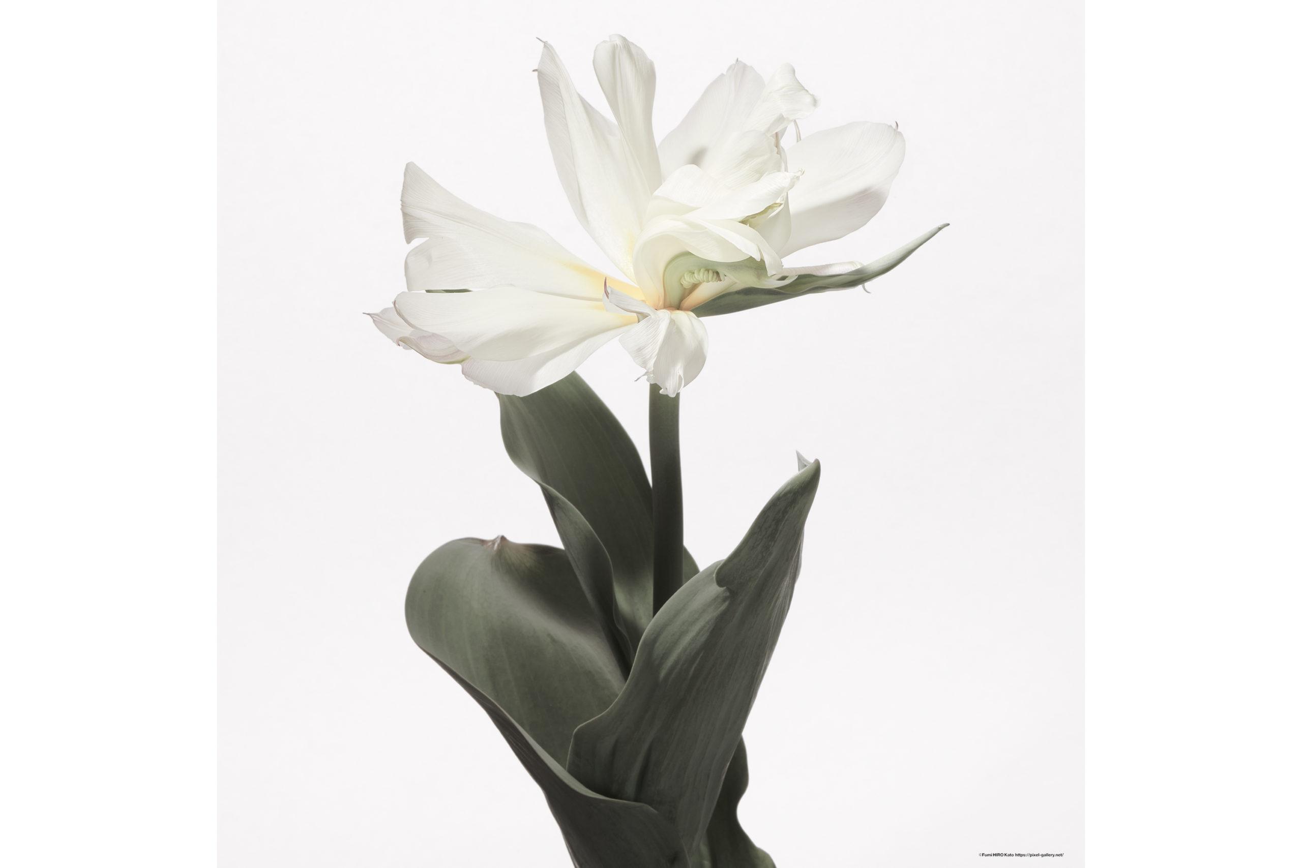 ハナ 2020-012 Tulip #3