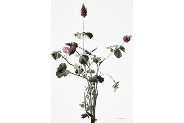 ハナ 2020-016 Crimson Clover #2