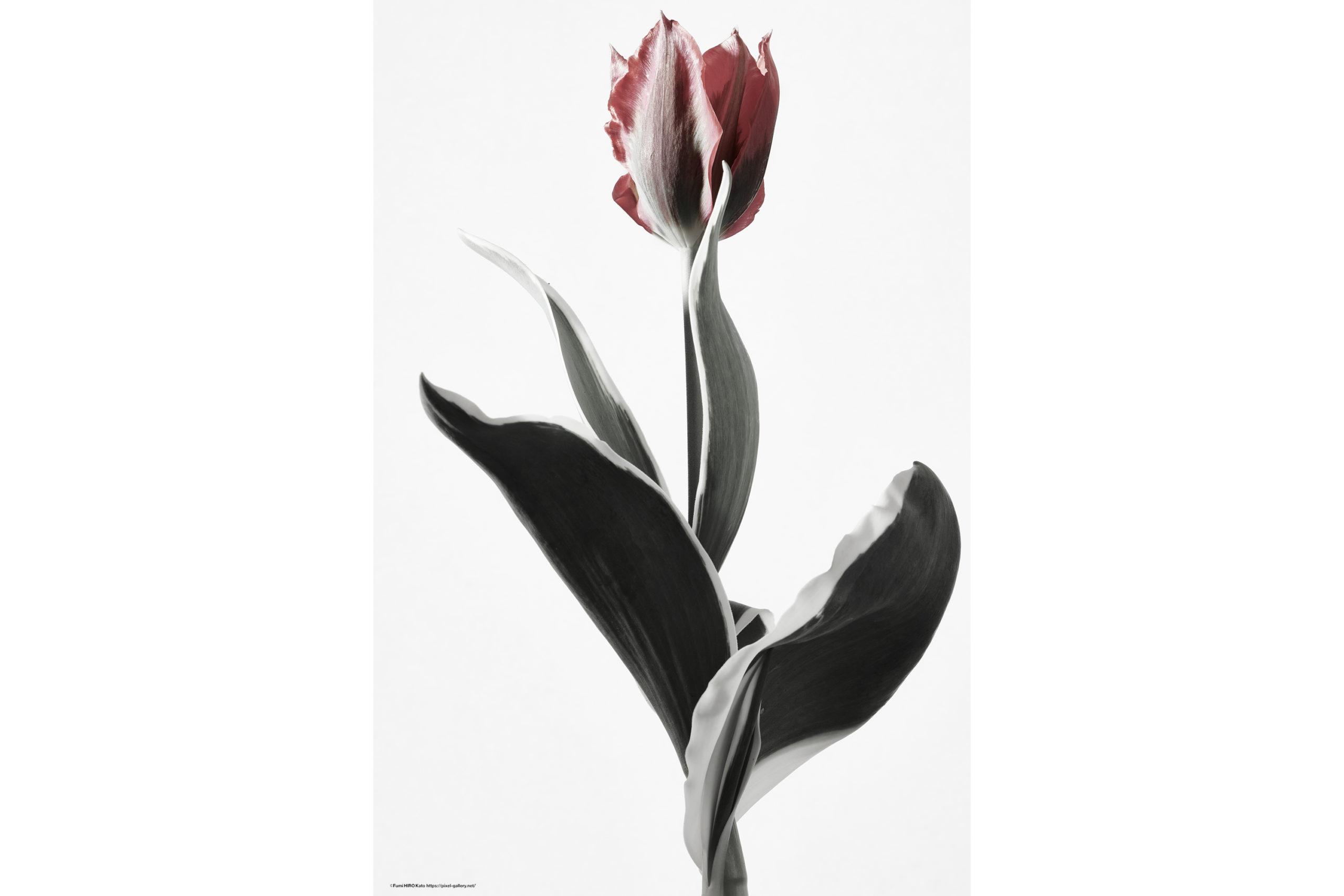 ハナ 2020-014 Tulip #5