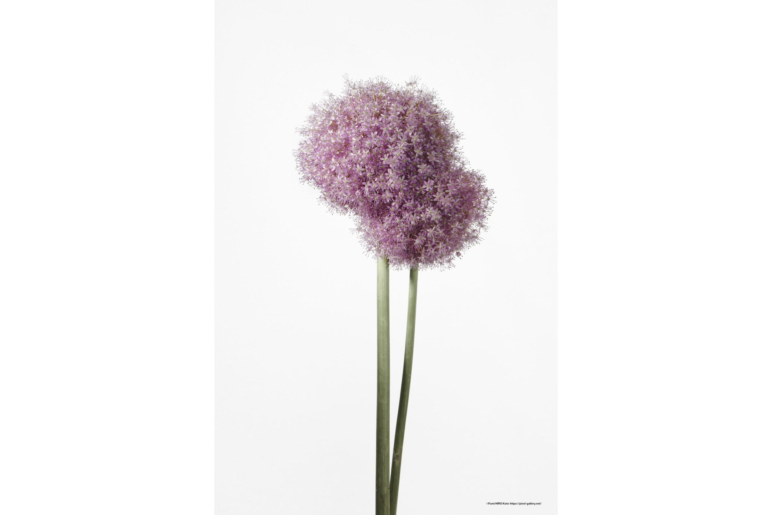 ハナ 2020-023 Allium #1