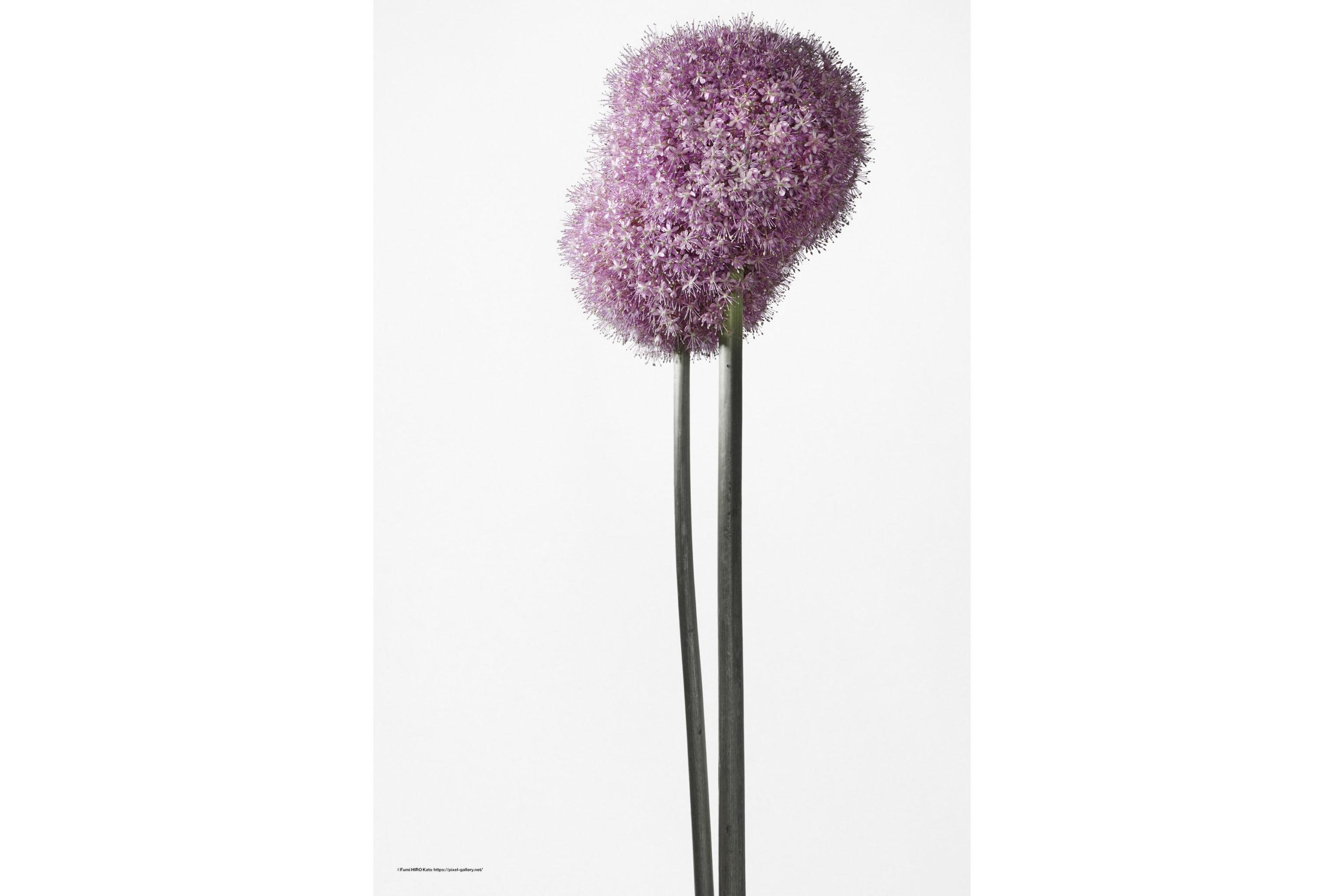 ハナ 2020-025 Allium #2
