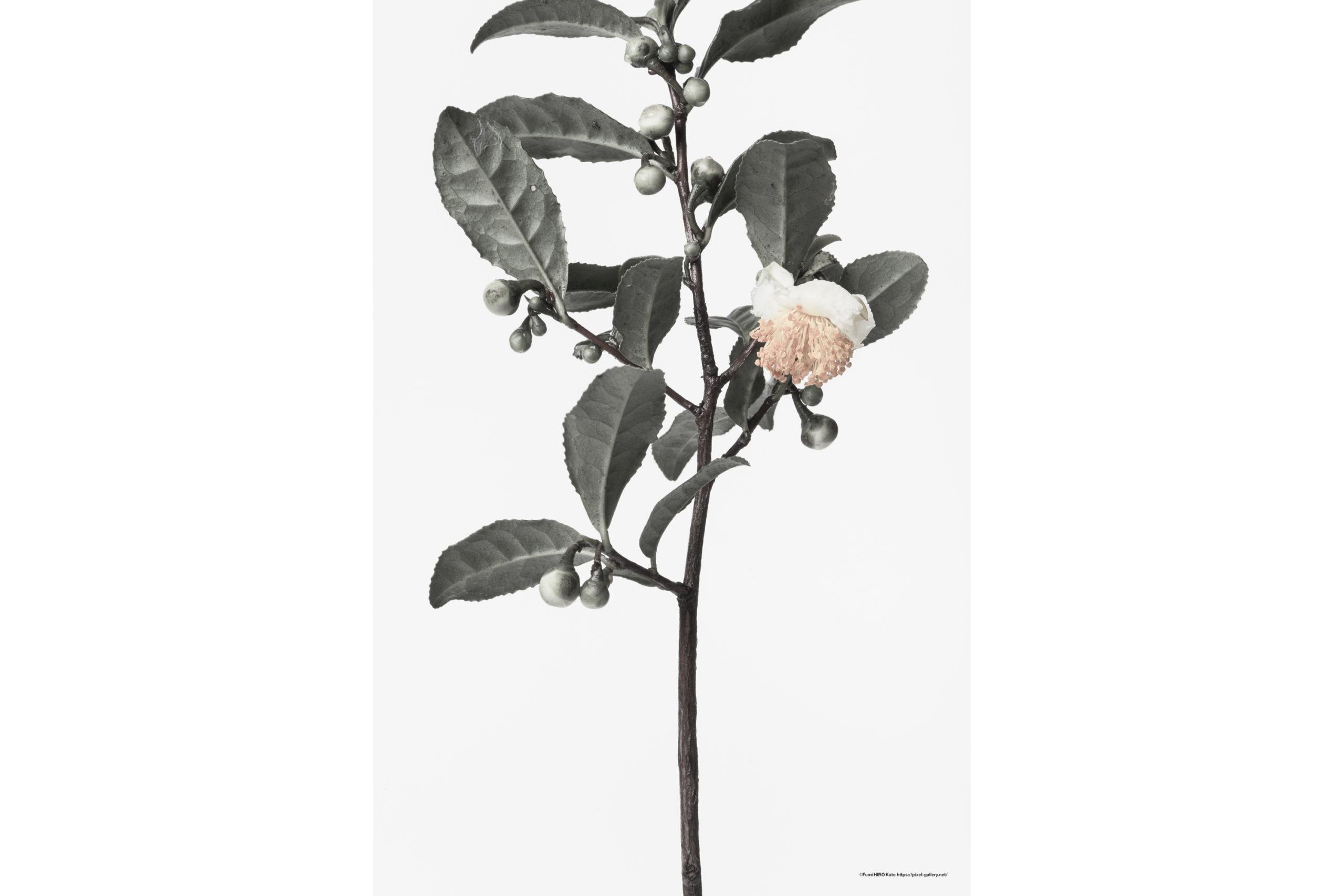 ハナ 2020-029 茶の木