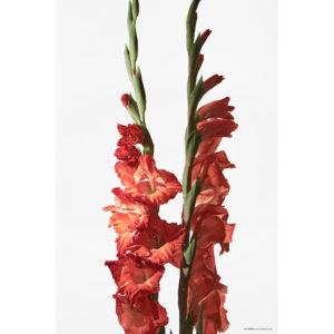 ハナ 2020-030 Gladiolus #1