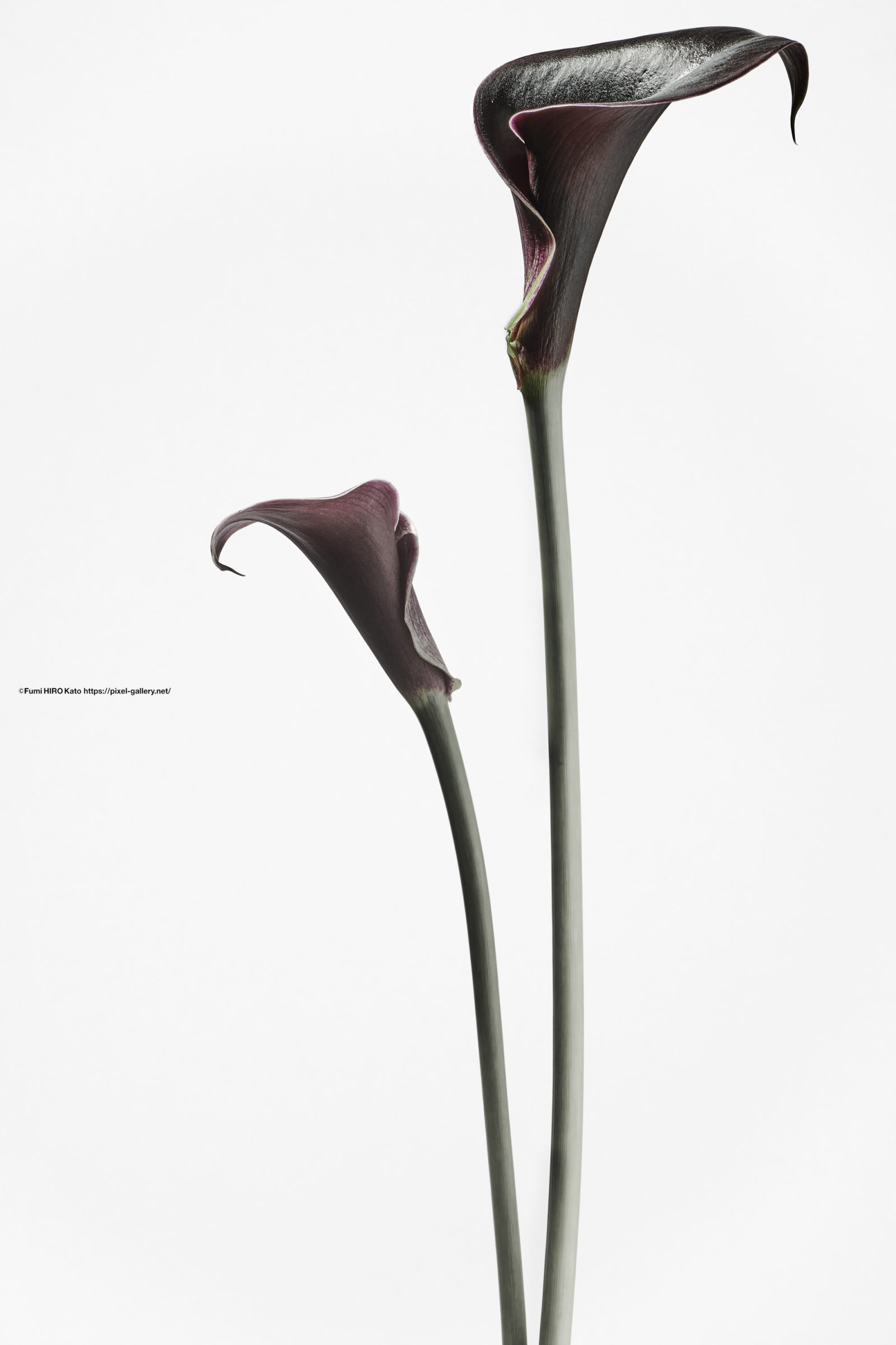 ハナ 2020-037 Calla (Calla lily)