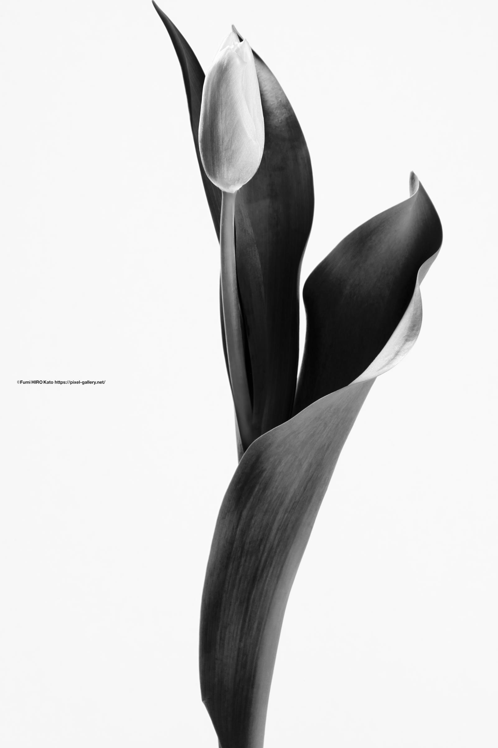 ハナ 2021-006 Tulip