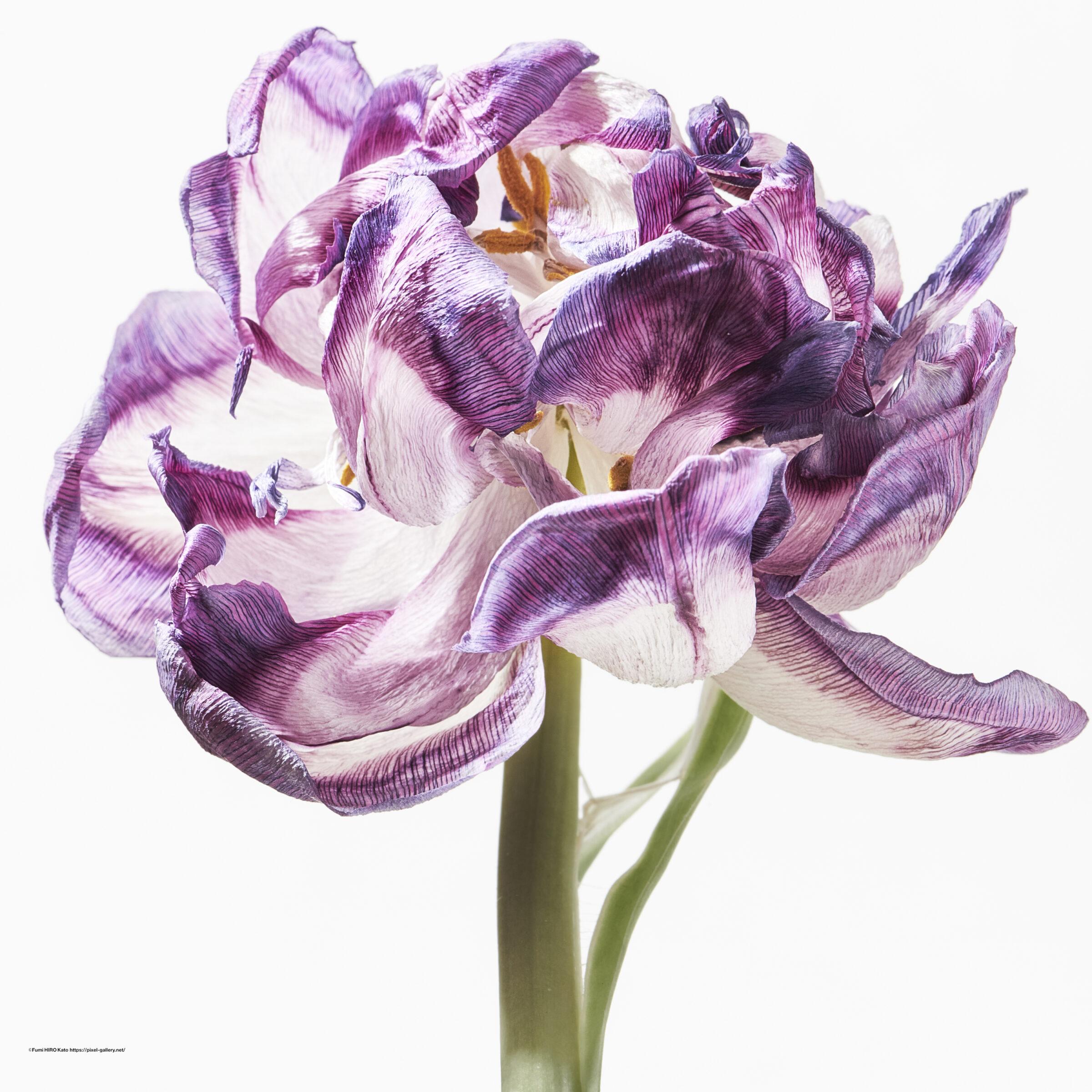 ハナ 2021-015 Tulip