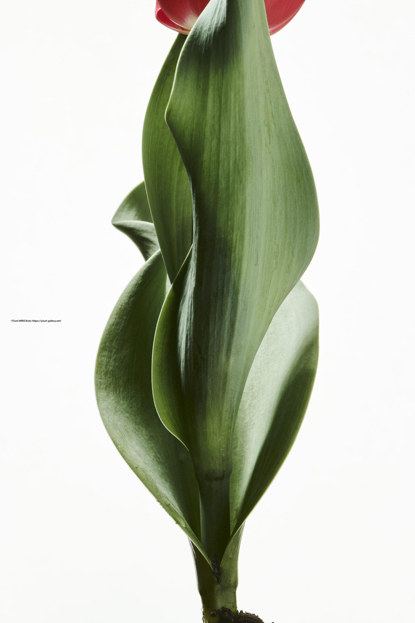 ハナ 2021-016 Tulip
