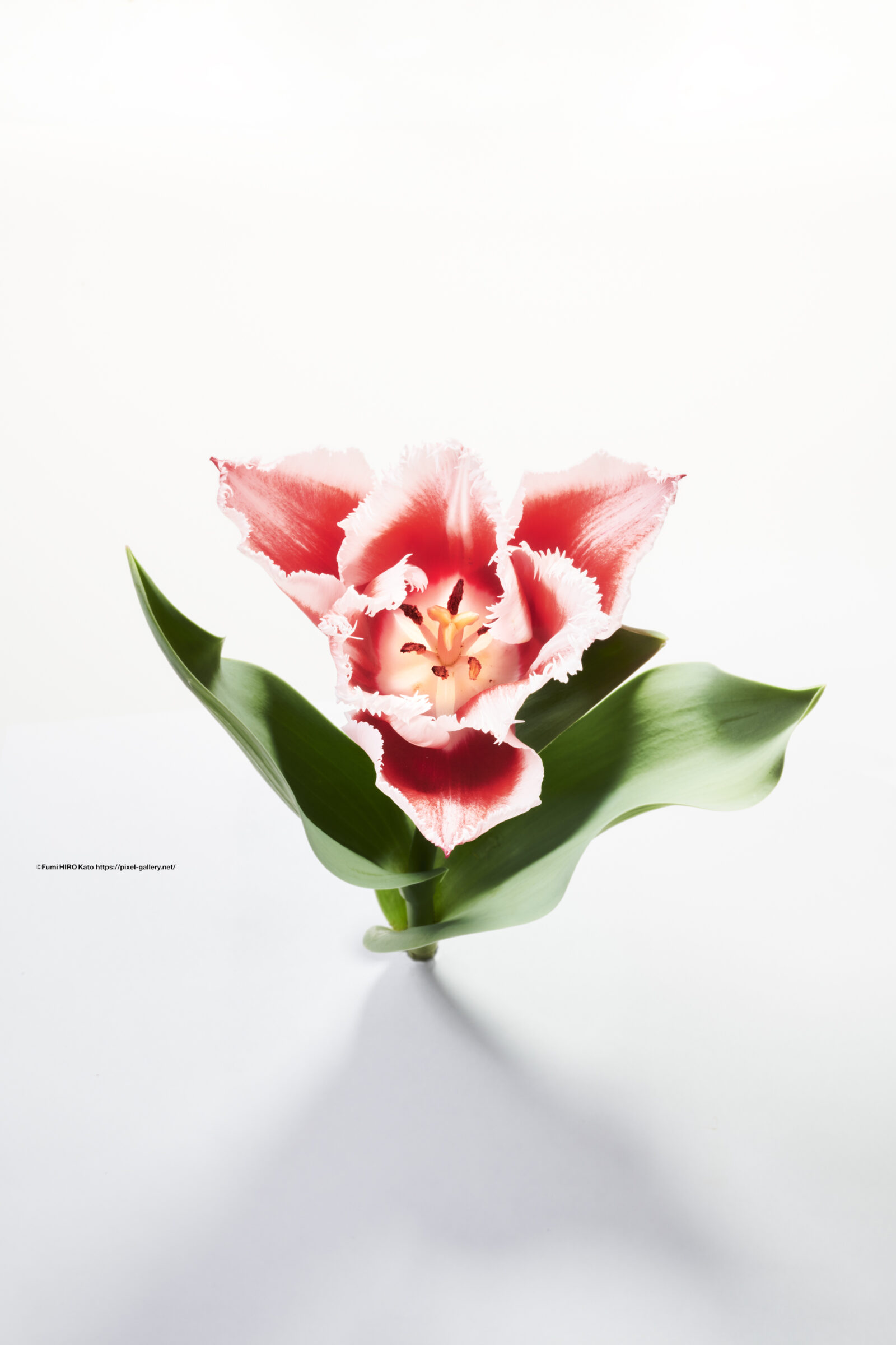 ハナ 2021-017 Tulip