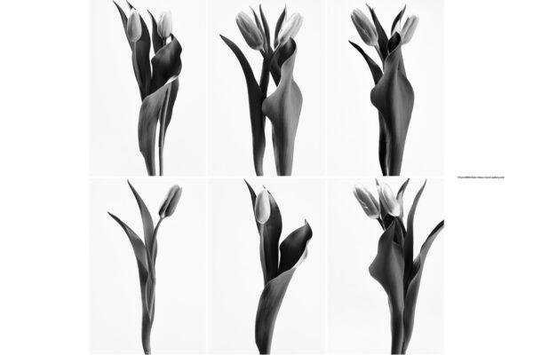 ハナ 2021-006〜011 Tulip monochrome