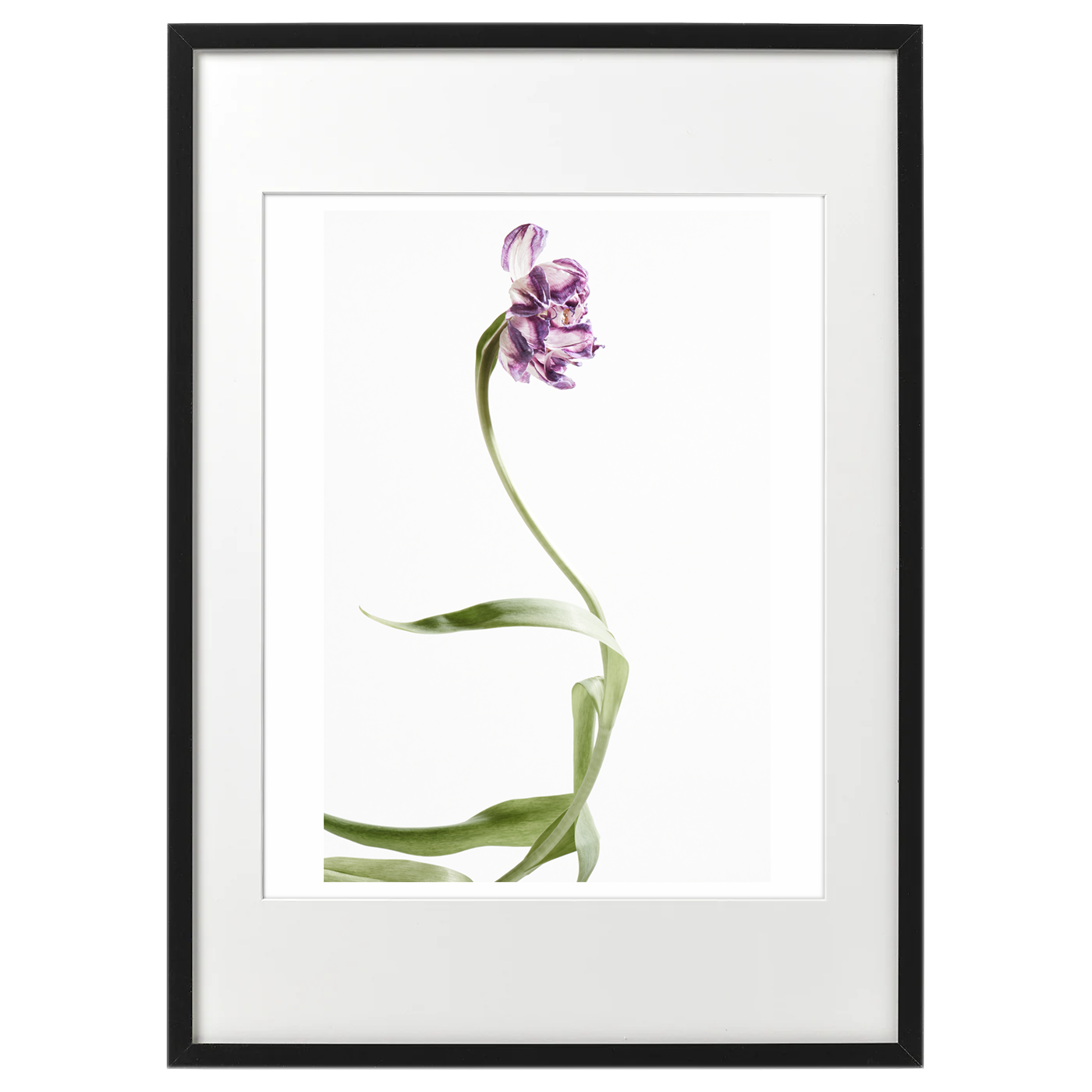 額装tulip_purple1766