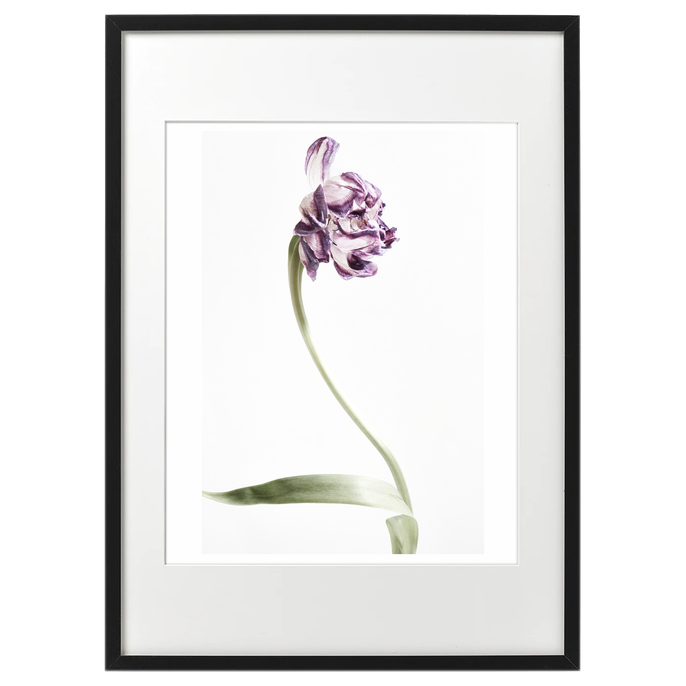 額装tulip_purple1767
