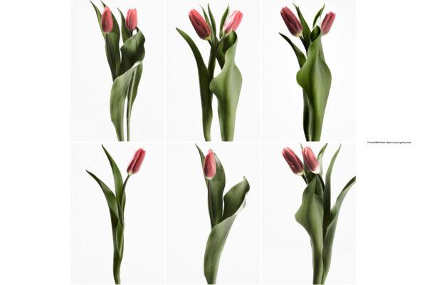 ハナ 2021-006〜011 Tulip