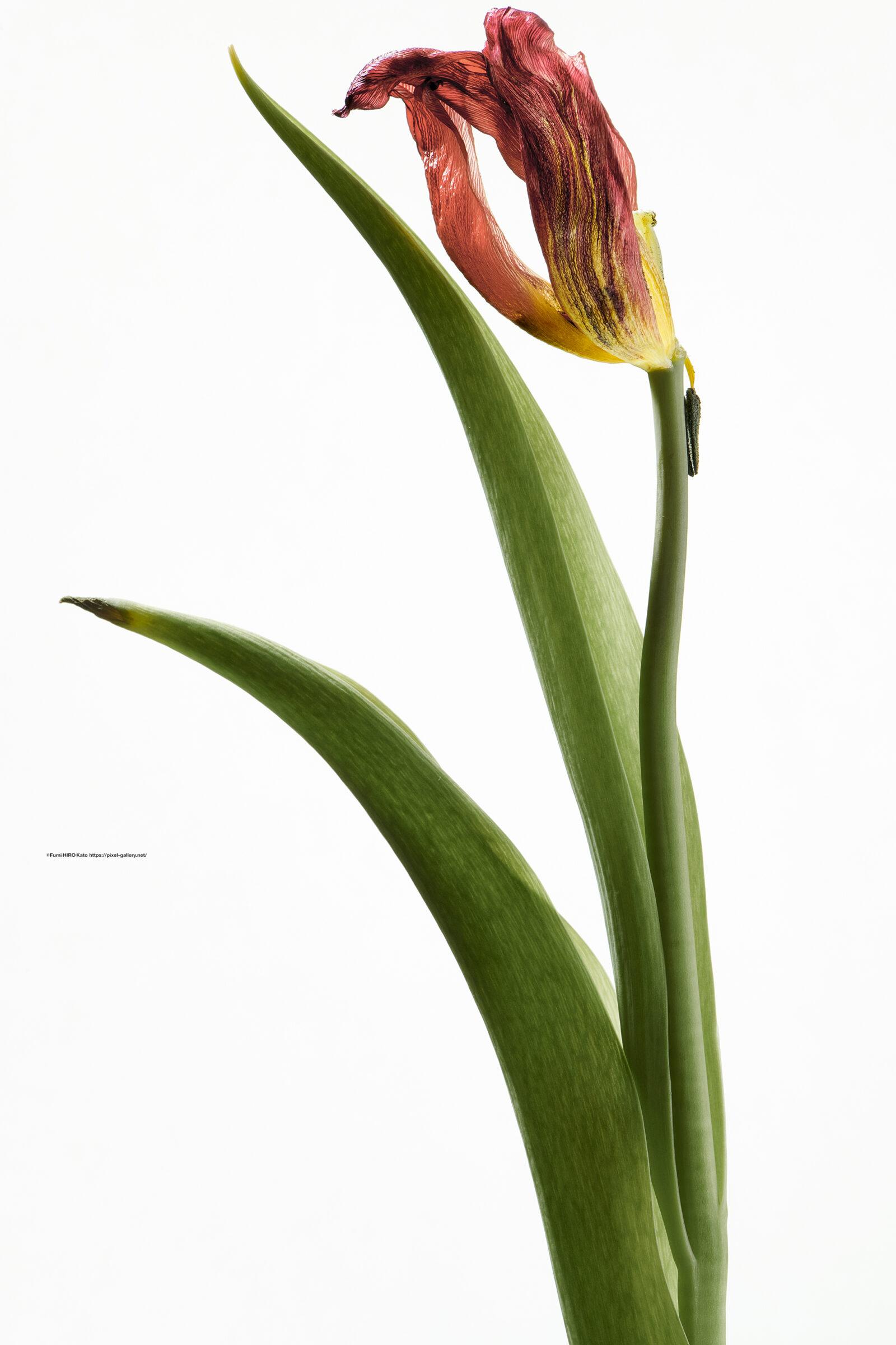 ハナ 2021-018 Tulip