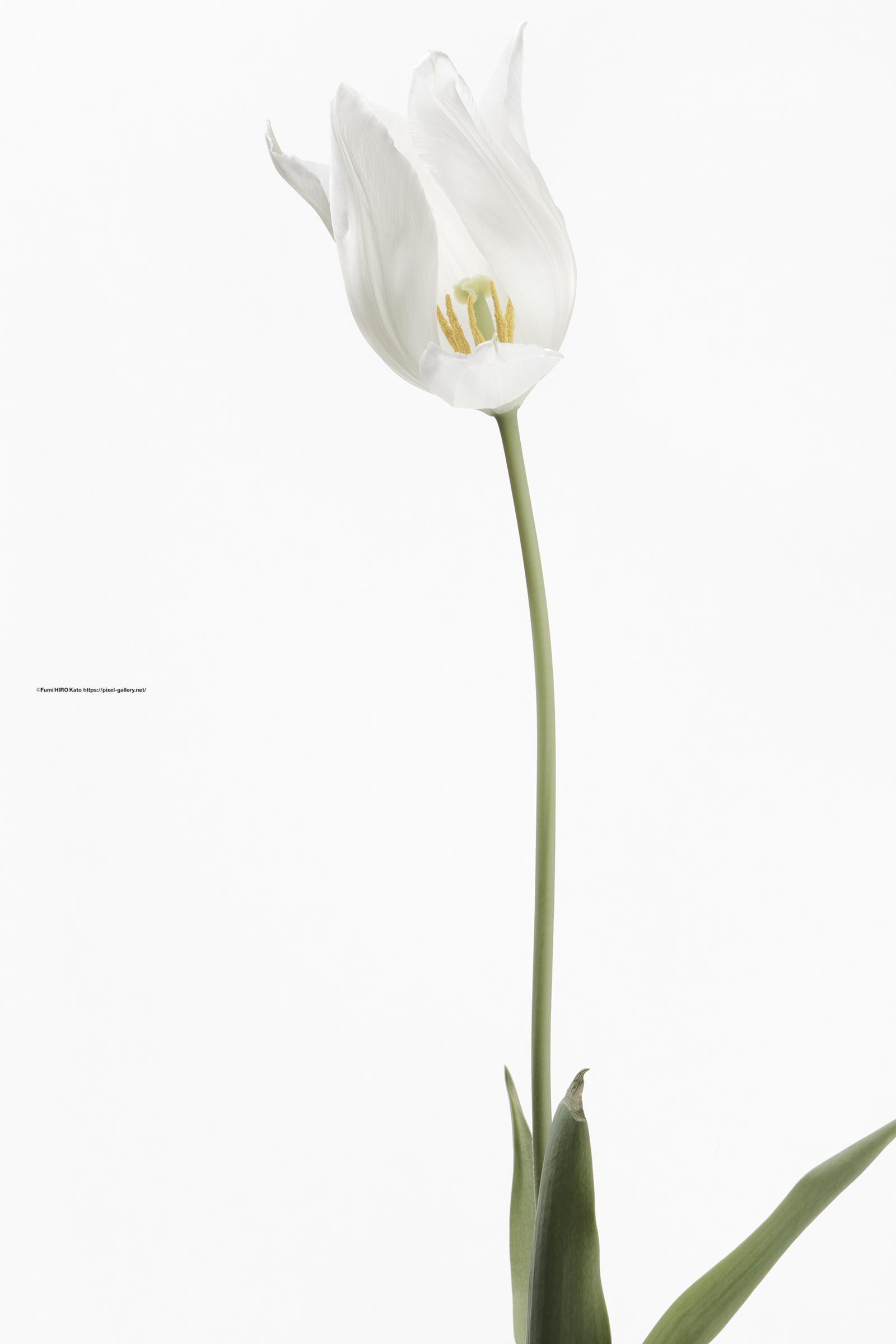 ハナ 2021-021 Tulip